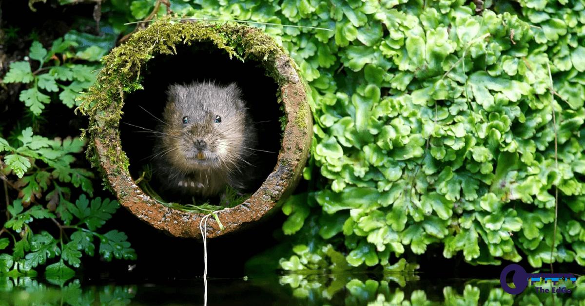 Berburu Tikus