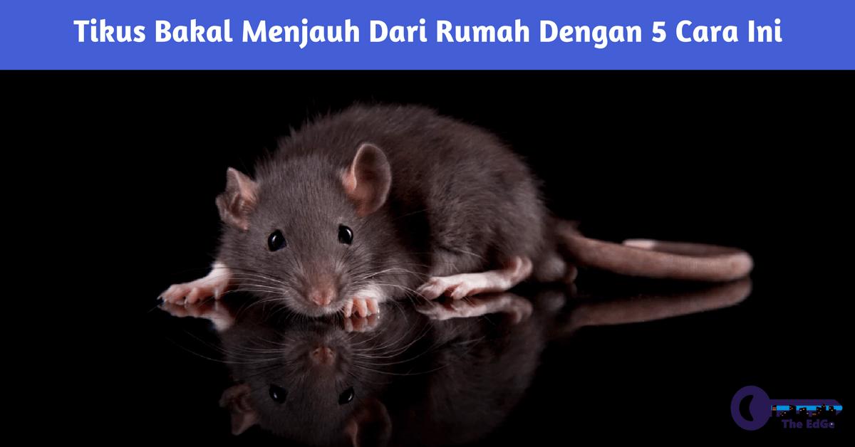 Tikus Bakal Menjauh Dari Rumah Dengan 5 Cara Ini